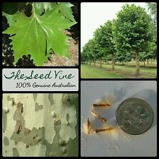 10+ LONDON PLANE TREE SEEDS (Platanus x acerifolia) Shade Ornamental Popular