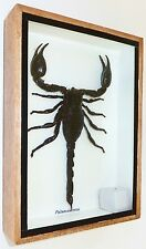 REAL GIANT BLACK SCORPION PALAMNARRUS IN FRAMED DISPLAY / TAXIDERMY