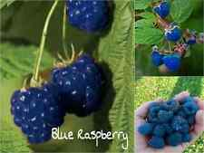 10 BLUE Raspberry Seeds (Rubus Leucodermis) Sweet Fruit Tasty Garden Plant