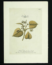 Eleazar Albin Kupfer Stich ca. 1720 Insekten hand-colored copperplate engraving