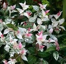 20 x VARIEGATED STAR JASMINE Trachelospermum jasminoides plants in 40mm pots