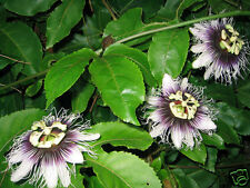 Passionfruit 'Purple Giant' Seeds Delicious Sweet Fruit Evergreen