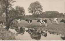 Rinder, Kühe auf der Weide, alte Foto-Ansichtskarte um 1930