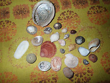 Collection of 24 Shells including cowrie, baby ears, scallop, mother of pearl.