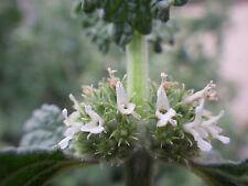 Weißer ANDORN 50 Samen Marrubium Vulgare Helfkraut Mariennessel