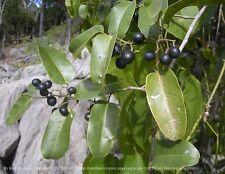NATIVE AUSTRALIAN GRAPE,15 Seeds,Cissus hypoglauca,Vine,Bush Tucker,Fruit tree