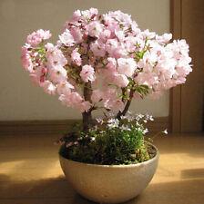 Japanisch Sakura-Samen Kirsche 2016 Bonsai Blume Saat Bonsai Baum Blüten 20PCS