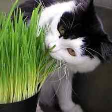 150 Gms Sussex grown sweet Oat Grass seeds for Cats and other Pets