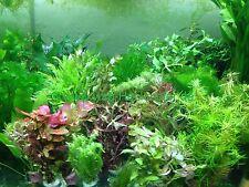 100 Aquarienpflanzen Tropische Pflanzen Aquarium Wasserpflanzen (€0,20/Stk)
