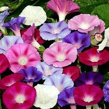 Morning Glory Mix (Ipomoea purpurea) x 20 seeds.