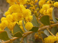 Acacia pravissima (Ovens Wattle) in 50mm forestry tube Native plant