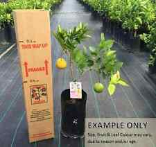 Dwarf Lemon & Orange Fruit Salad Tree - Two Fruits One Tree!!