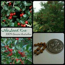 10 HOLLY YAUPON TREE SEEDS (Ilex Vomitoria) Red Berries Winter Flowering Colour