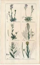 Gänsekressen-Arabis-Blumen-Pflanzen - Stahlstich 1840