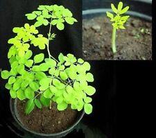 schnellstwachsender Baum der Welt: Meerrettichbaum - Superschöne Grün-Färbung !