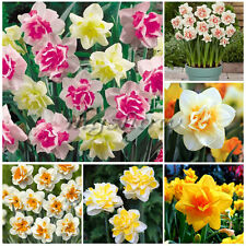 20 Double Narcissus Duo Bulbs Scented Pastel Mixed Daffodil Spring Plant Flower