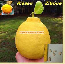 5x Große Zitrone Obst Samen Neu Garten Zimmerpflanze Riesen Zitronen Baum #241