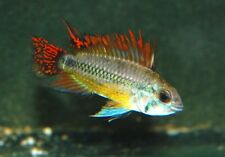 Pair of Apistogramma Cacatuoides Double Red. Cockatoo cichlid