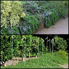 8 Rosemary Blue Lagoon Groundcover Herb Garden Plants Flowers officinalis Herbal