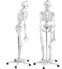 Life Size Human Skeleton Model &Stand Medical Anatomical Aid Anatomy W/Poster