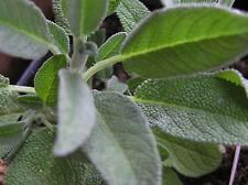 Echter Salbei 25 Samen  Küchensalbei Arzneisalbei Gartensalbei  Heilpflanze