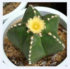 Astrophytum Myriostigma Nudum (10 SEEDS) Rare Cactus Samen Semi 種子 씨앗 Семена