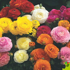 Ranunculus Double Mix Seed Mixed Colours Frost Hardy Excellent Cut Flower