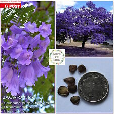 10 BLUE JACARANDA SEEDS(Jacaranda mimosifolia); Ornamental tree