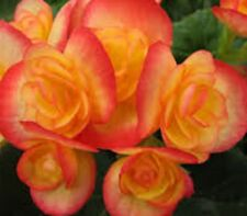 ORANGE ELATIOR BEGONIA beautiful mass flowering indoor plant in 110mm pot
