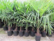 Trachycarpus fortunei - Hanfpalme 100-120cm - Winterhart -18°C