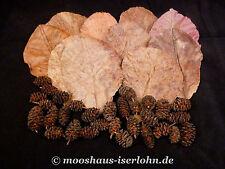 10 Seemandelbaumblätter Nano extra small 7 - 9cm + 30 Premium Erlenzapfen