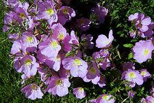200 Samen Rosa Teppich-Nachtkerze Steingarten Oenothera speciosa