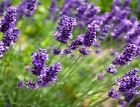 Lavender  Fragrance Oil  Soap And Candle Making Supplies