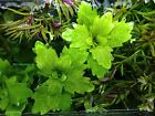 Mexican Oak Leaf,  Shinnersia rivularis,  Live Aquarium Plant
