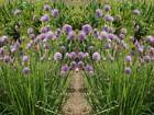 Chives (250 thru 1/4 LB seeds) Premium Herb!  Easy to Grow! bulk  #201