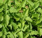 Lemon Balm (1200 thru 1LB seeds) FREE SHIP Melissa Mint Honey Bees USA #314