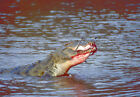Art print POSTER Nile Crocodile Eats Gazelle, Kenya
