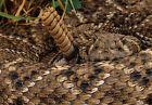 Art print POSTER Diamondback Rattlesnake Ready to Strike