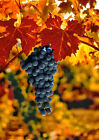 Art print POSTER Cabernet Sauvignon Grapes 2 for sale  Shipping to United States