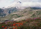 Art print POSTER Wildflowers in Bloom Near Mount St. Helens