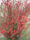 "Chaenomeles""Spitfire"" Choose 3, 6 or 10 Plants! Flowering Quince Shrubs!"