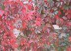 "Parthenocissus  ""Virginia Creeper""  Choose 3, 6 or 10 Vines Free Shipping!"