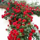 Rare Rose Tree Chinese Lovely DIY Potted Beautiful Balcony Yard Flower Plant Eas