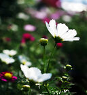 Original Package 50 White Common Cosmos Seeds Cosmos Bipinnatus Seed A178