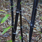Black Bamboo - Live Bamboo Plant - 2 Gallon Size