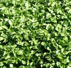 Pepper Cress Seeds 400 thru 10LB Curled Grass Garden Herb Microgreen Sprout H253
