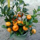 Sale!100Seed/Lot Balcony Patio Potted Fruit Trees Planted Seeds Kumquat Seeds Or