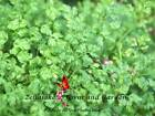 Winter Chervil Microgreen or Garden Seeds by Zellajake Many Sizes Free Ship 184