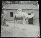 Glass Magic lantern Slide WHIPSNADE ZOO THE CAMEL 1930'S BEDFORDSHIRE