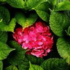 20 pcs/Pack Hydrangea Seed Bonsai Flower Seeds Hydrangea Perennial TOP